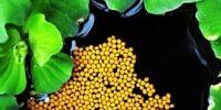 Преимущества кормов для кои Хикари Плавающие гранулы