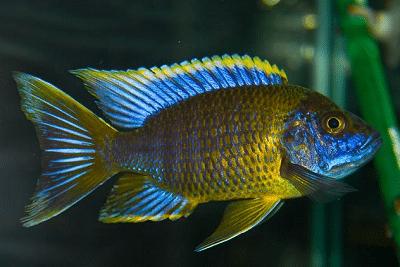 Кормление хищных рыб Аулонокара