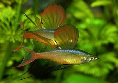Кормление малеких рыбок Ириатерины Вернера