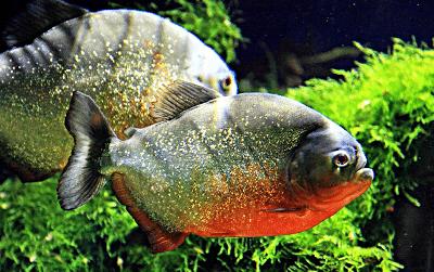 Кормление рыб крупных хищников Пиранья