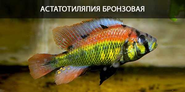 Питание в природе и в кормление в аквариуме астатотиляпии бронзовой