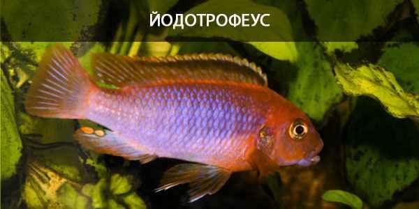 Питание в природе и в кормление в аквариуме йодотрофеуса