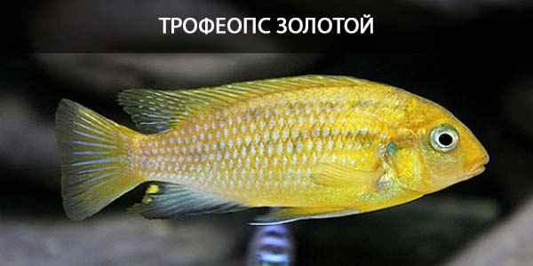 Питание в природе и в кормление в аквариуме Трофеопс золотой