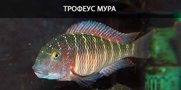 Питание в природе и в кормление в аквариуме трофеуса Мура