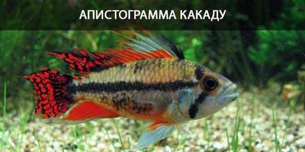 Питание в природе и кормление в аквариуме апистограммы какаду
