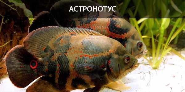 Питание в природе и кормление в аквариуме астронотуса тигрового