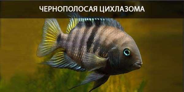 Питание в природе и кормление в аквариуме цихлазомы чернополосой