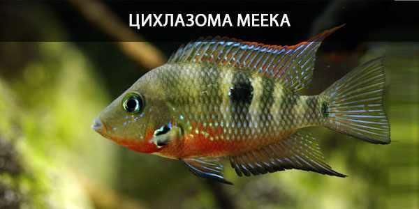 Питание в природе и кормление в аквариуме цихлазомы Меека