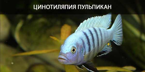 Питание в природе и кормление в аквариуме цинотиляпии пульпикан