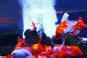 Яркокрасные золотые рыбки