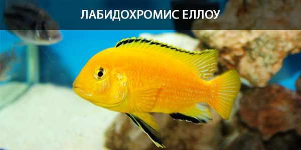 Питание в природе и кормление в аквариуме цихлиды сони