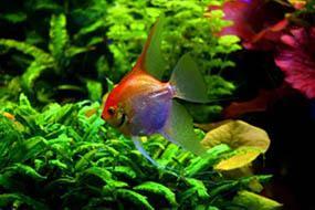 Скалярия с пресном аквариуме