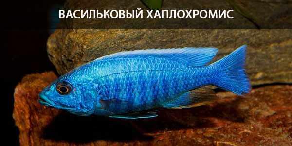 Питание в природе и кормление в аквариуме василькового хаплохромиса
