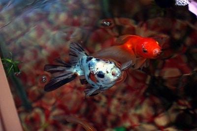 Кормление золотых рыбок
